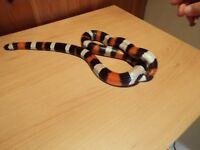 Pueblan Milk Snake, 2 years old with fully equipped vivarium and heat mat