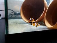 pair honey glazed clown fish £20 no offers