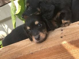 Puggle Puppys Now Ready In Chelmsford Essex Gumtree