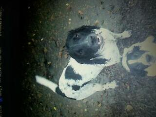 Missing since yesterday, black/white, female springer spaniel, from musselburgh