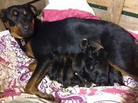 Rottweiler x spaniel puppies
