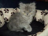 lilac mix male british shorthair kitten