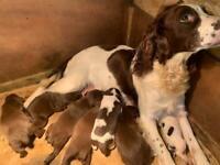 Springer spaniel / pointer cross puppies