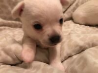 X1 Chihuahua female puppy for sale