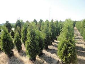 DaPontes Colorado Spruce - Tree Nursery London Ontario image 5