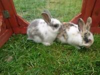 2 lovely baby bunnies ready in 4 weeks