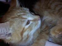cute mix angora touch in part bengal kitten
