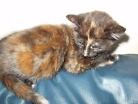 KITTEN FEMALE TORTOISESHELL GINGER / BLACK 10 WEEKS OLD LITTER TRAY TRAINED EATING WET FOOD £50