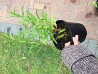 Perennial penstemon plant for the garden £3 each