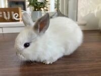 Mini lion lop Bunny - now reserved