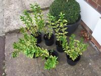 Ligustrum Auream (Golden Hedge) x 6 available Grantham £4.00 each or £20.00 all six