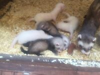 5 X 8 week ferrets for sale mostly female , 1 male