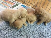 Chihuahua cross toy poodle puppies