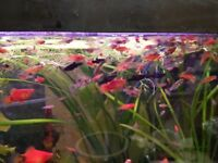 25 Young tropical fish(guppeis and red platy)