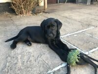 Beautiful Pedigree Male Black Labrador Puppy for sale, ready to go £700