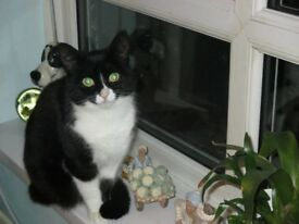 small black white cat