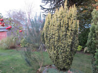 Mature garden conifers for sale and removal