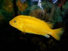 Yellow lab cichlid 5 inch
