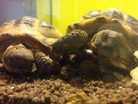 Two female horsefield tortoises for sale