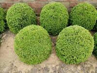 "Home grown box ball plants (buxus sempervirens) 20cm (8"") dia. Other sizes available from £15 each"