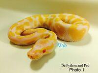 Baby Royal Pythons- Albinos&Mojaves