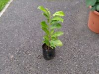 Healthy,Young Hedging Plants - Cherry Laurel,Portuguese Laurel etc. Ready to plant now.