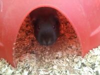 Black Female Guinea Pig Free to a good home