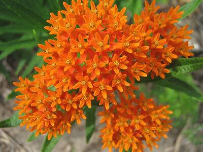 30 ORANGE BUTTERFLY MILKWEED Asclepias Flower Seeds