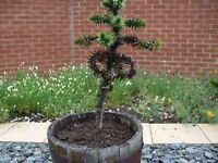 Monkey puzzle tree in wooden barrel 3 feet high can deliver for a price see pictures