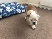Bulldog boy puppy for sale