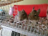 2 3yo degus and 4 storey John Hopwell custom cage