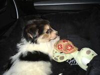 12 week old Jackeranian puppy for sale