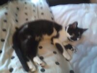 6 MONTH OLD BLACK AND WHITE KITTEN FREE TO GOOD HOME
