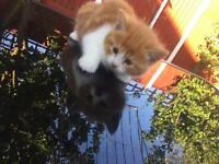 Two ginger kittens for sale!!!