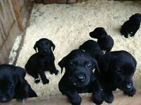 Gorgeous litter of black labrador pups for sale