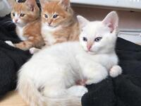 Beautiful kittens for sale ONE KITTEN LEFT ONLY NOW