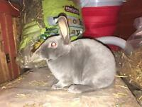 2 mini rex available