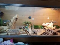 Bearded dragon 12 months old with full set up