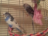 2 x budgies with cages and accessories, both male, approx 1-2 years old