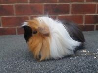 Gorgeous Peruvian sows for sale