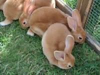 Red Rex Rabbits 9wks old. 1 male and 1 female. York.