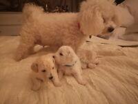 New Bischon / Poochon puppies for sale