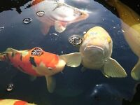 Large Koi Fish for SALE 27inch-17inch