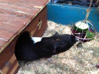 Lovely female (adult) guinea pig
