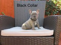 Reverse Blue Brindle and Blue French Bulldogs