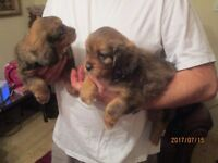Tibalier pups for sale