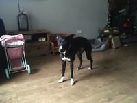 Collie greyhound cross whippet