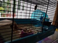 2 male Baby hamsters and cage