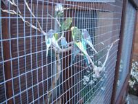 baby budgies for sale, all colours home bred