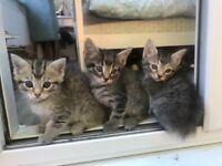 Bengal/savannah kittens